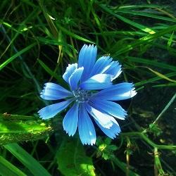 Fleurs de Bach Chicory